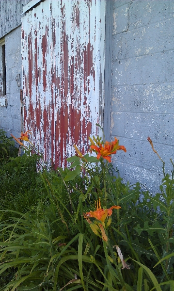 Daylillies by barn